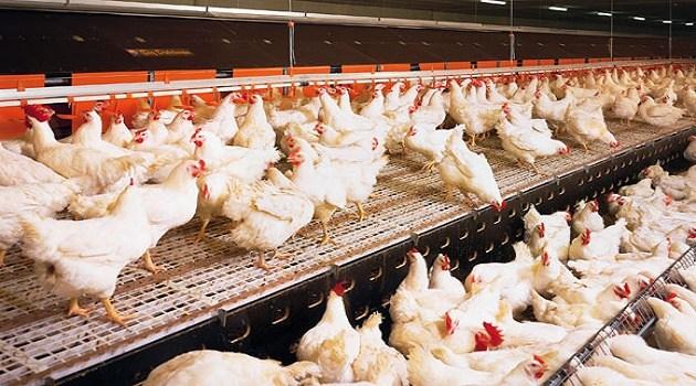 Sector avícola en Venezuela trabaja a 25% de su capacidad