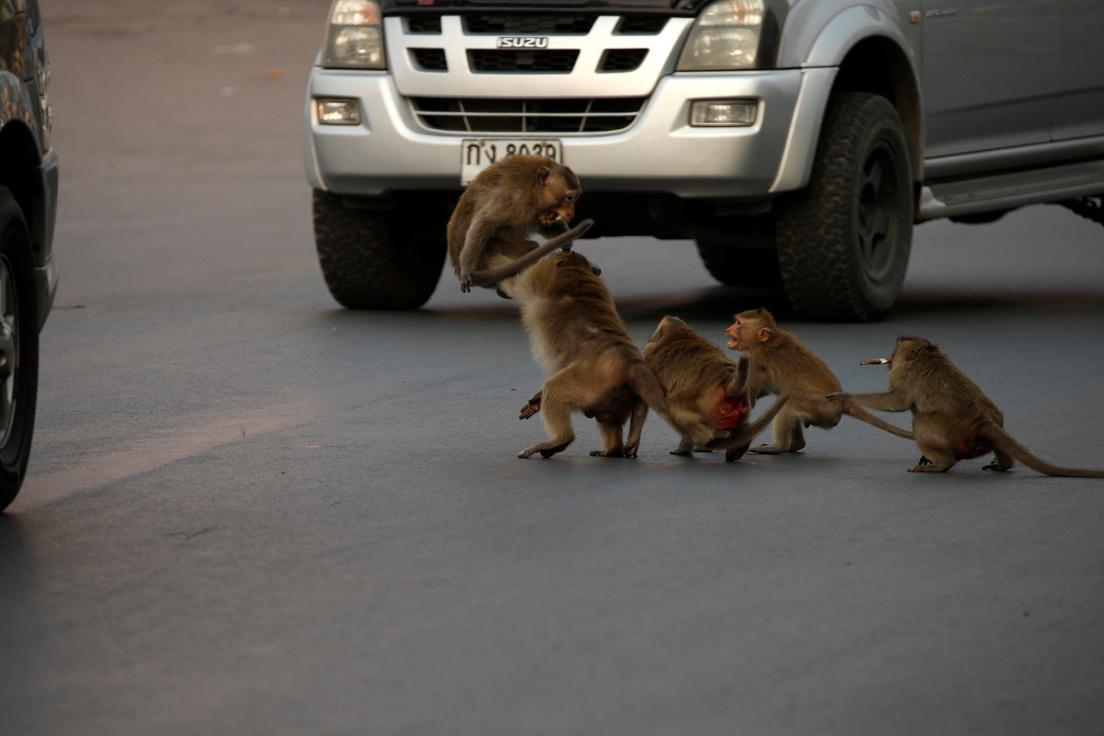 ¡Video! Más de 8 mil monos toman las calles de una ciudad en Tailandia