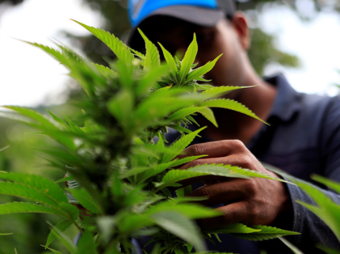 Estudio reveló que consumo de marihuana altera el perfil genético de la esperma
