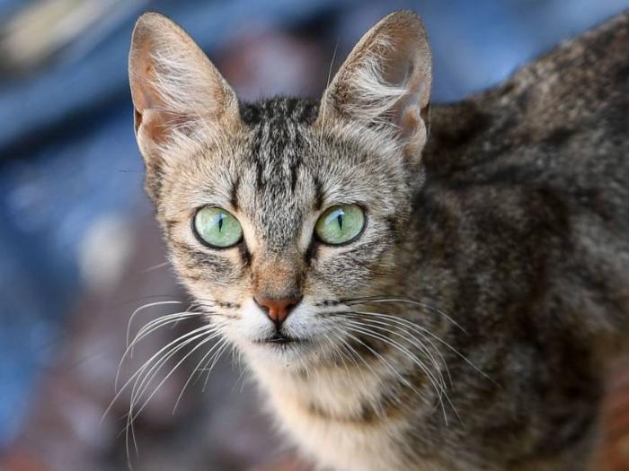 Científicos desarrollaron una vacuna para prevenir la alergia causada por los gatos